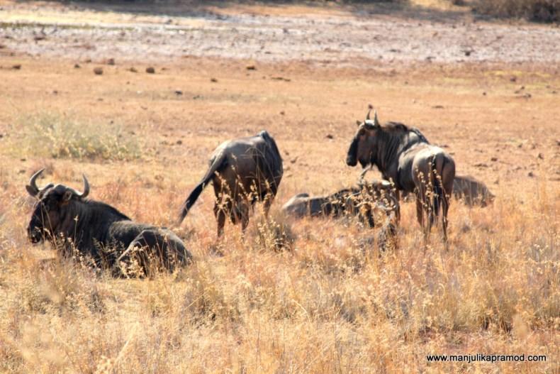 African safari, Pilanesberg national Park