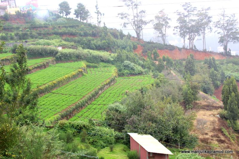 Tea gardens of Ooty