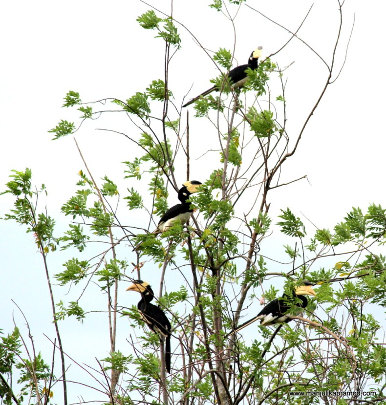 4 black toucans on a single tree