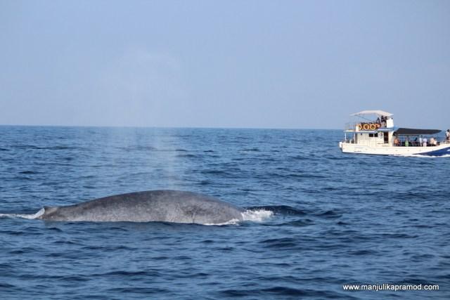 Whale watching at Mirisa
