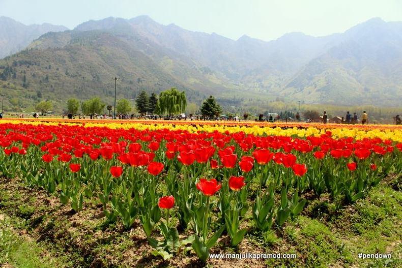 The Indira Gandhi Memorial Tulip Garden flourishes in the foothills of Zabarwan Range
