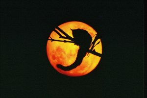 The magic of his lens brings the moon and a sugar glider together.