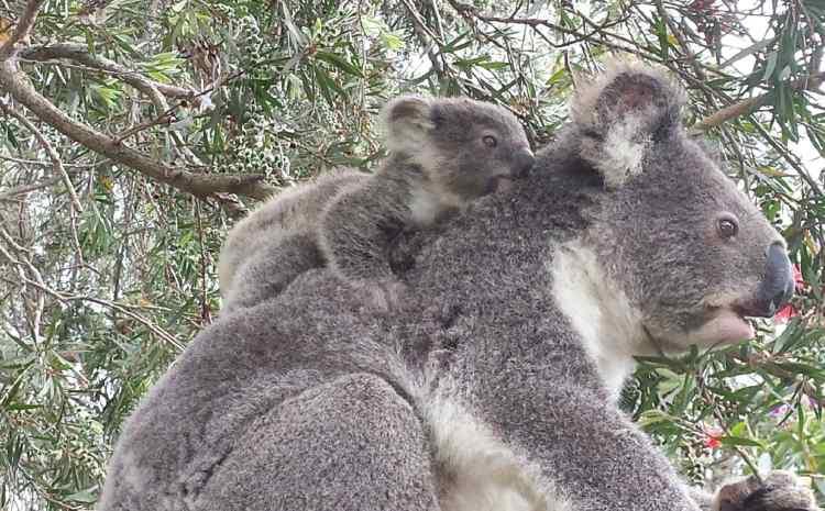 Koalas are in strife…