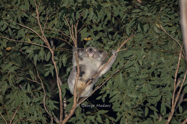 Local koalas get a boost