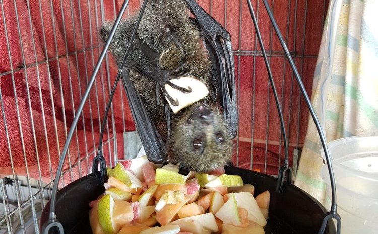 Flying-Foxes are friends to the forest