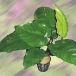 Barteri Boart Leaf