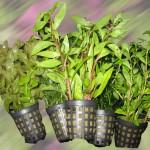 tiestos plantas acuáticas ManPlan