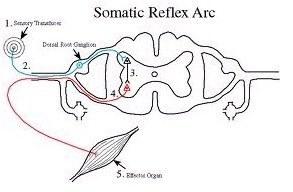 chronic myofascial pain – Somatic Reflex Arc