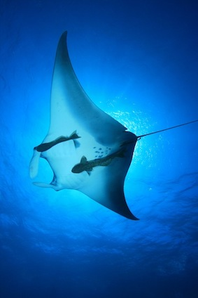 Interesting facts about mantarays