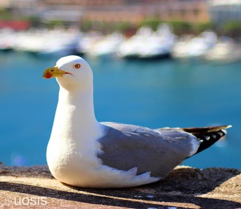 Seagull at the Port Hercule of Monaco