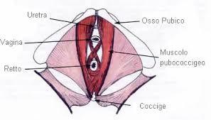 muscolo pubococcigeo manuela oxoli