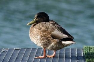 Ente auf Bootssteg
