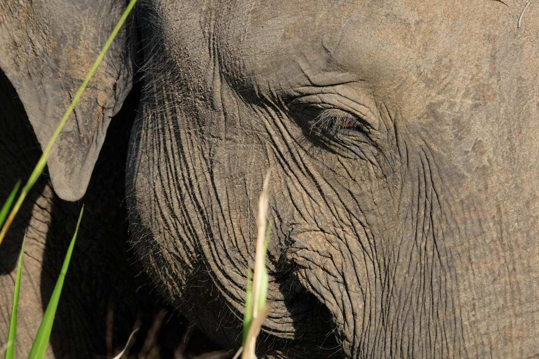 close u[ image of an elephant while on safari in Minneriya national park, Sri Lanka