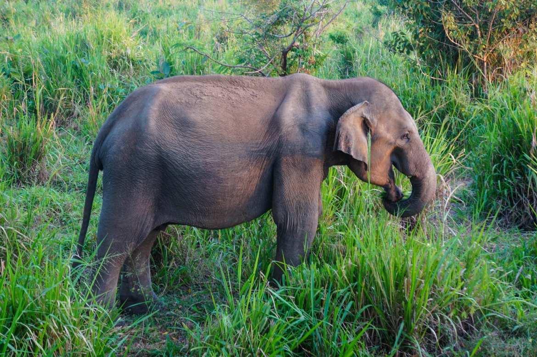 an Asian elephant grazing in minneriya national park, Sri Lanka