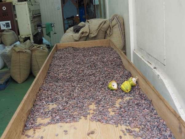 Graines de cacao séchées sur l'île de Grenade.