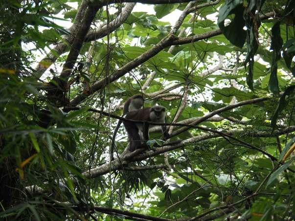 Singe dans la rainforest de Grenade.