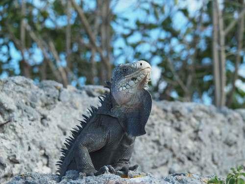 Iguane des Petites Antilles sur les îles de Petite Terre.