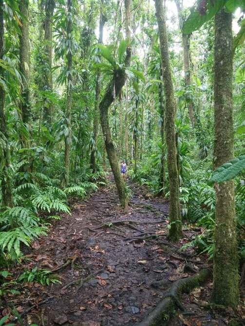 Chemin boueux dans la forêt tropicale en Guadeloupe.
