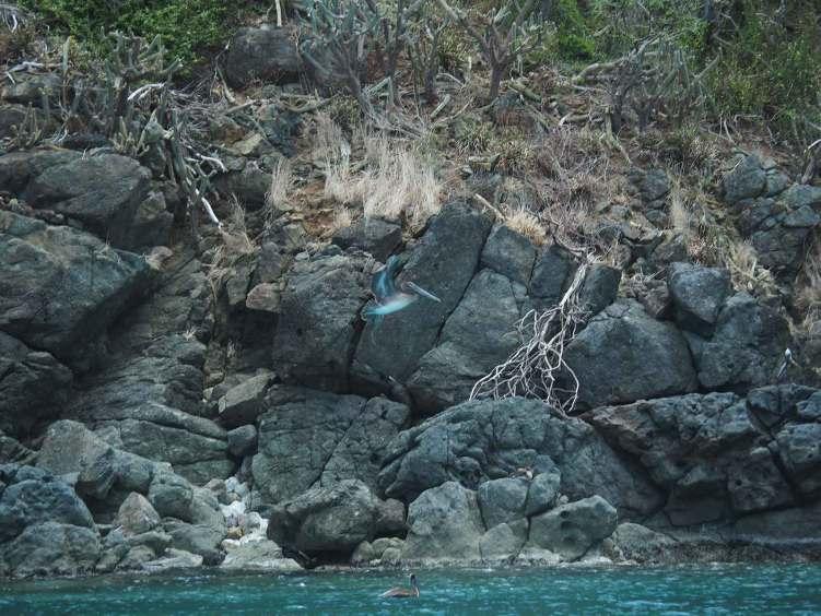 Vol de pélican au-dessus de l'eau sur Guana Island, aux BVI.