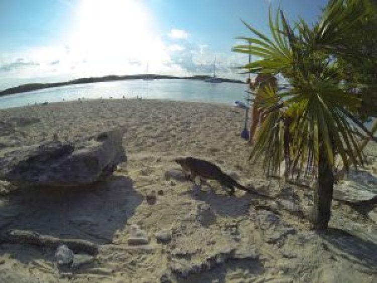 Iguane des Bahamas rencontré sur Leaf Cay, au nord des Exumas.