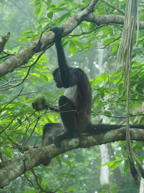 Un singe araignée sur une branche dans les ruines de Tikal.