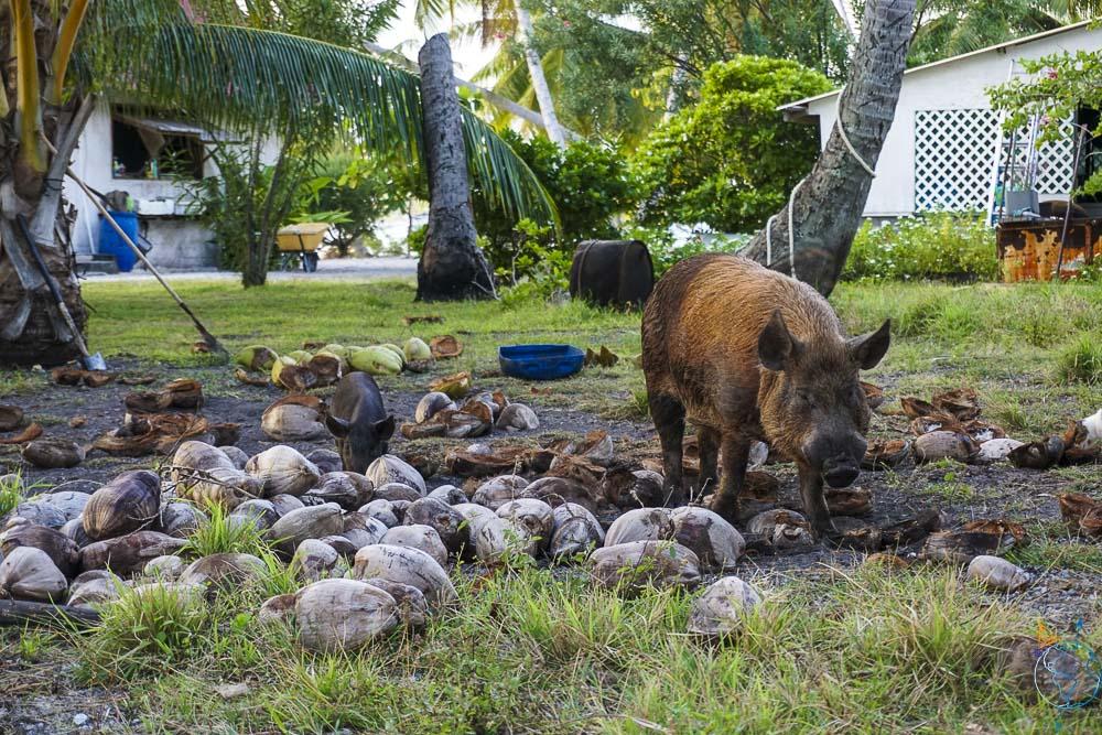Cochons en semi-liberté sur le motu Hirifa à Fakarava.