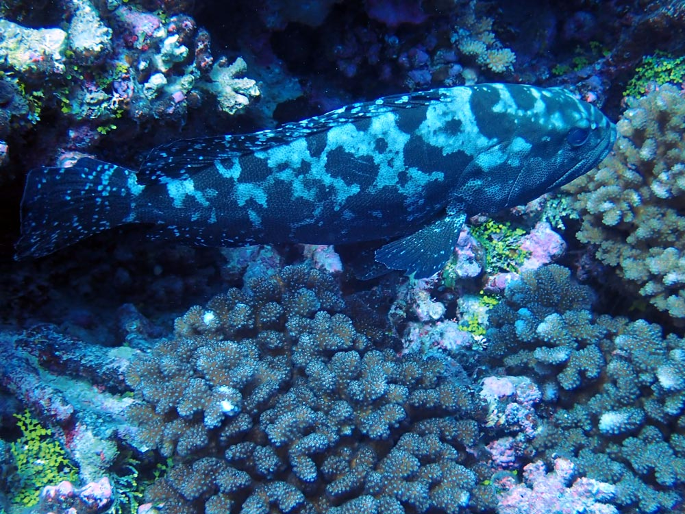 Mérou camouflage aperçu en snorkeling dans la passe sud de Fakarava.