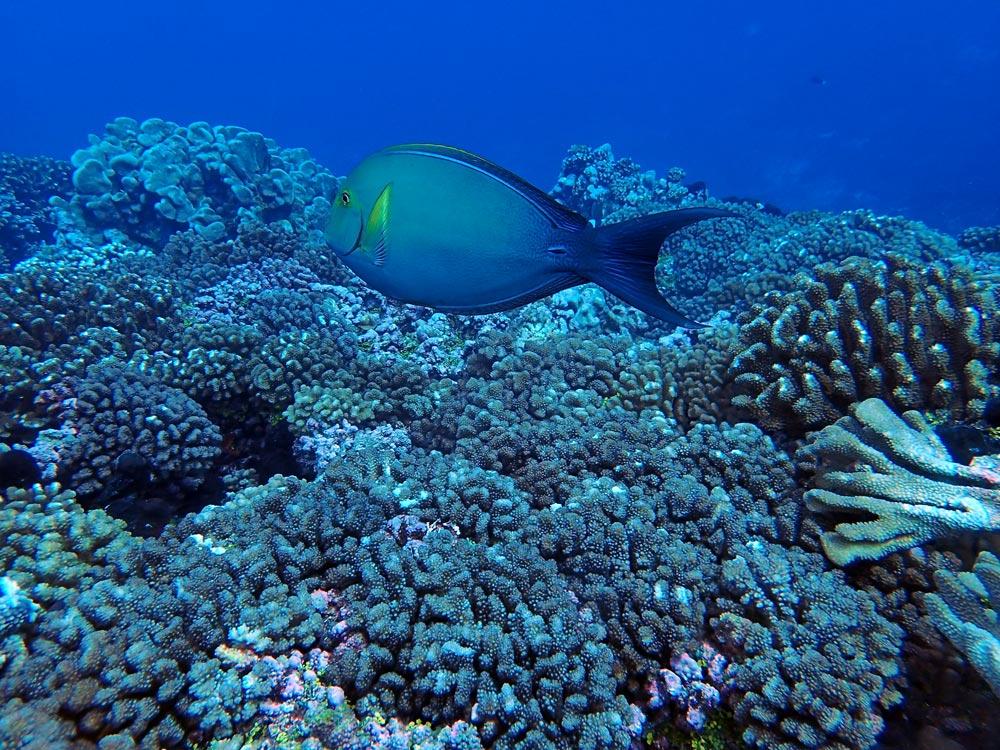 Un poisson chirurgien, espèce commune, qui nage sur les coraux.