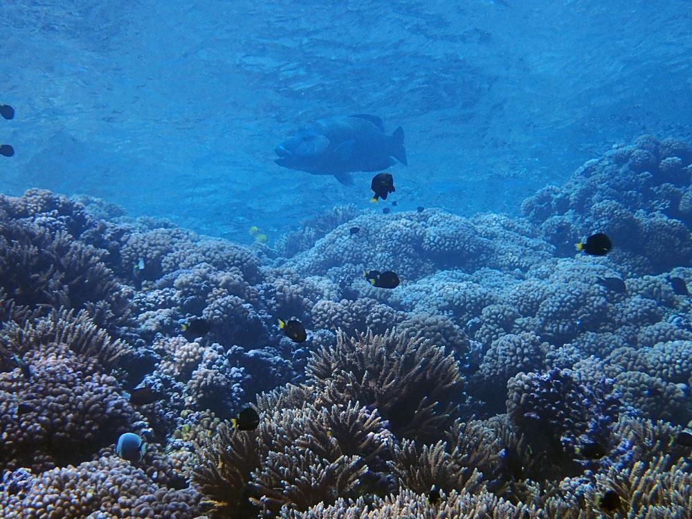 Un napoléon nageant près de la surface, à Fakarava.