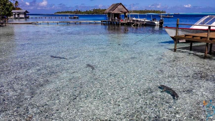 Requins pointe noire nageant dans peu d'eau près des pontons de Tetamanu.