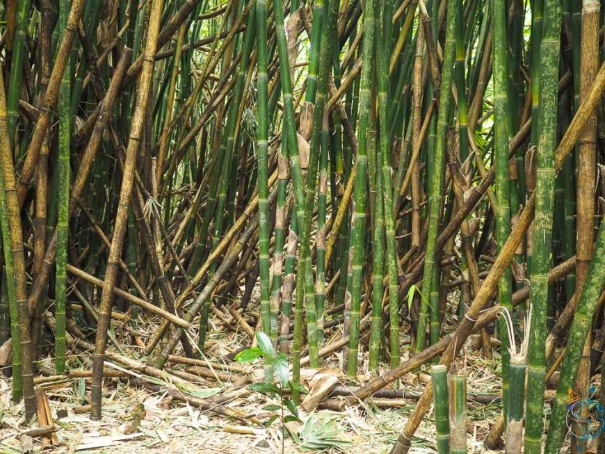 Forêt de bambous sur le sentier du col des 3 cocotiers à Opunohu.