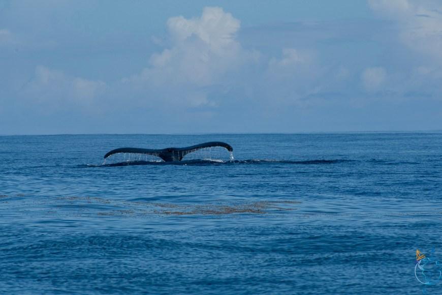 Plongeon de la baleine avec sa nageoire caudale encore hors de l'eau.