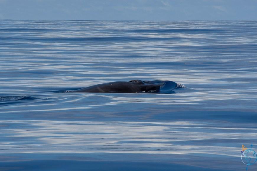 Sortie baleines au nord de Moorea, avec vue d'un rorqual commun.