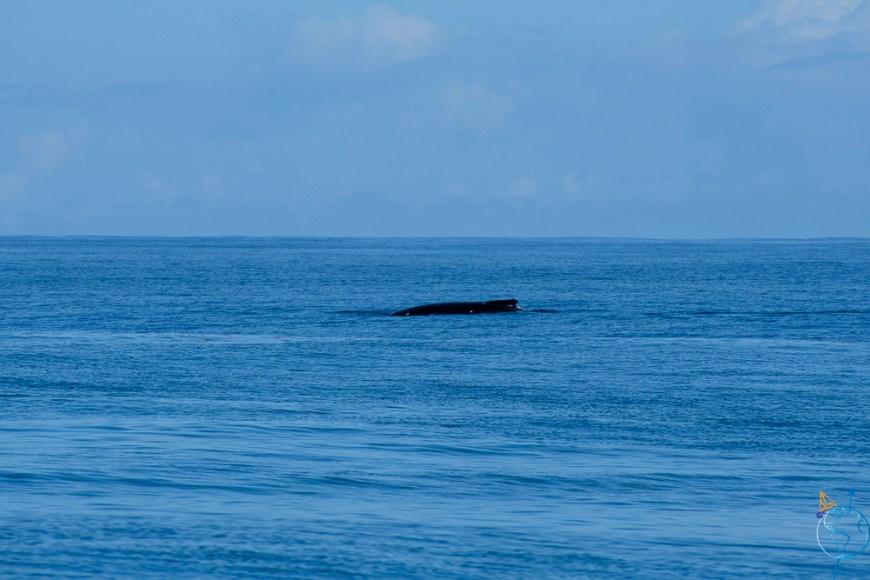 Approche d'une baleine à bosse en excursion au nord de Moorea.