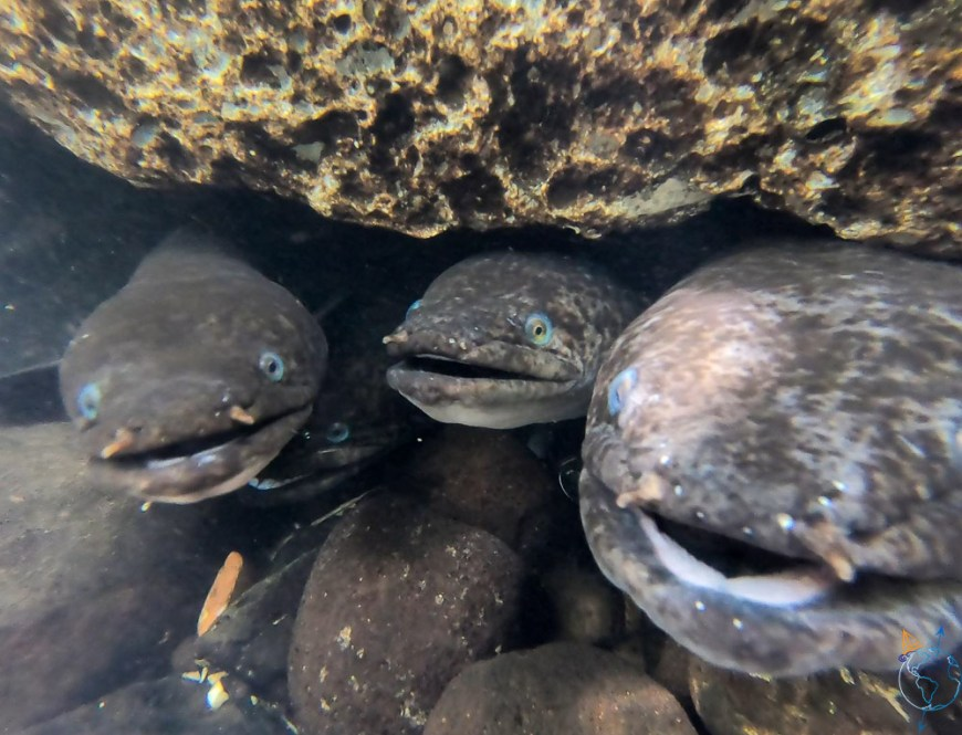 Anguilles aux yeux bleus sacrées de Faie, à Huahine.