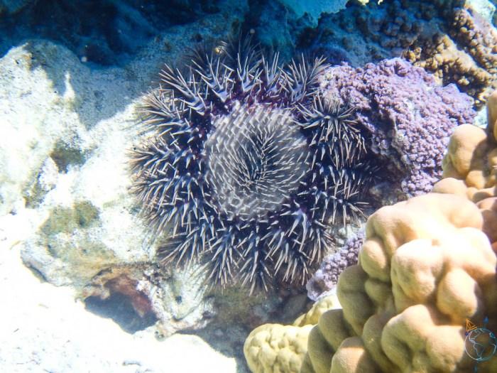 Acanthaster aperçue au nord-ouest de l'île de Bora Bora.