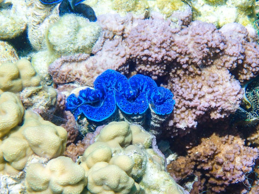 Bénitier d'un bleu profond aperçu en snorkeling à Bora Bora.