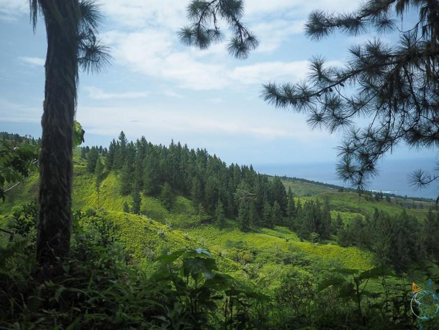 Forêt de pin sur les hauteurs de l'île de Tahiti, au-dessus du lotissement Miri.