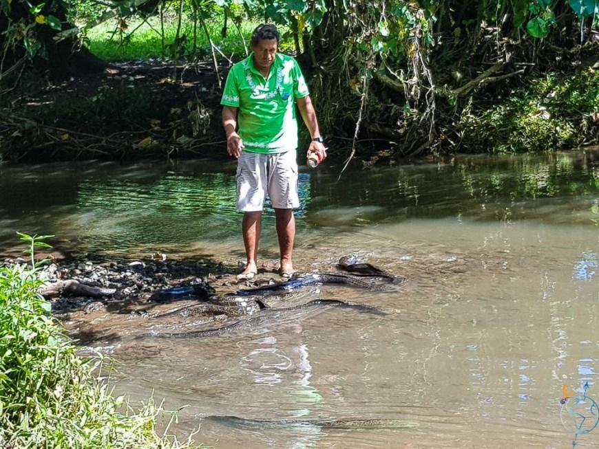 Nourrissage d'anguilles dans une des rivières de Moorea.
