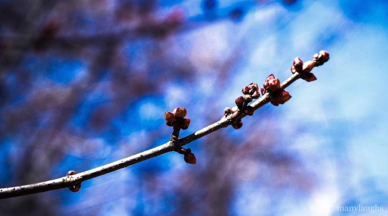 Budding branch on blue bokeh