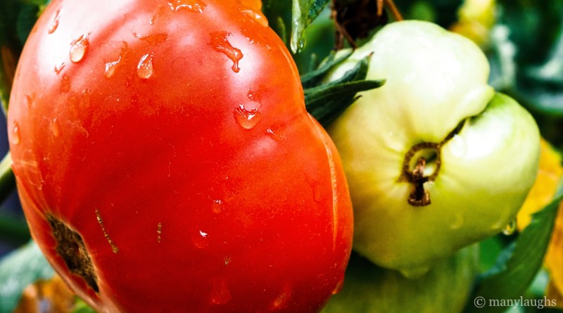 Red and green tomatoes after the rain
