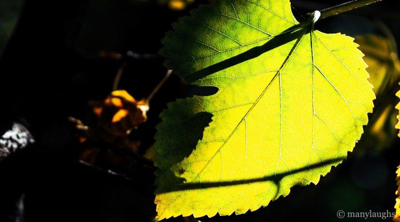 Chiaroscuro leaf