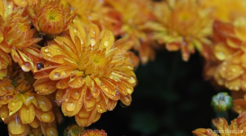 Wet, autumn flowers