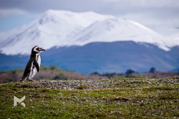 Pinguim Magalhães na Isla Martillo