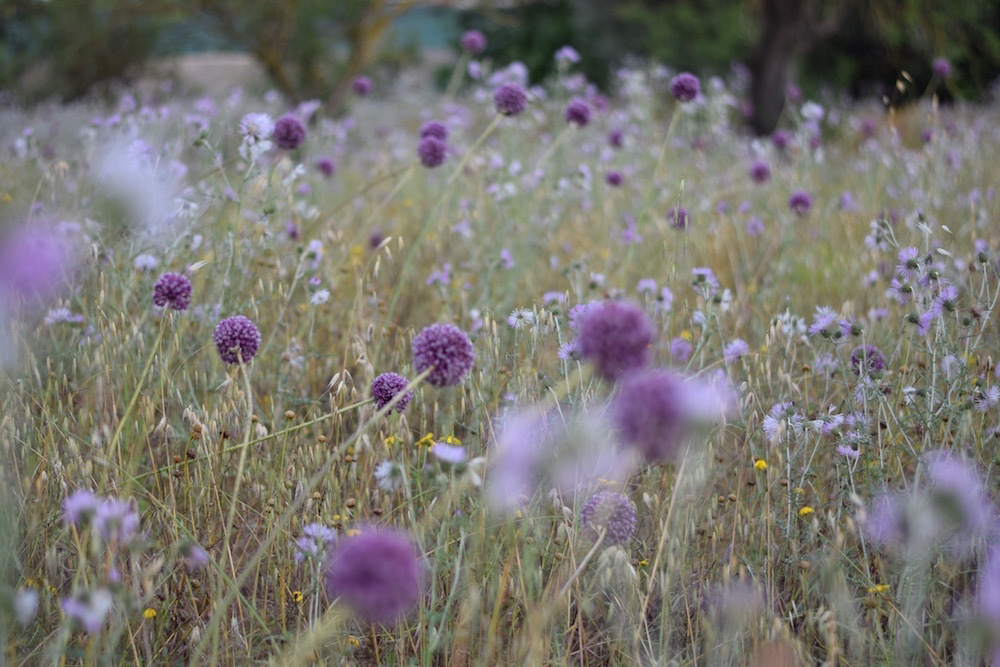 Photo of a field of flowers in Mallorca Spain