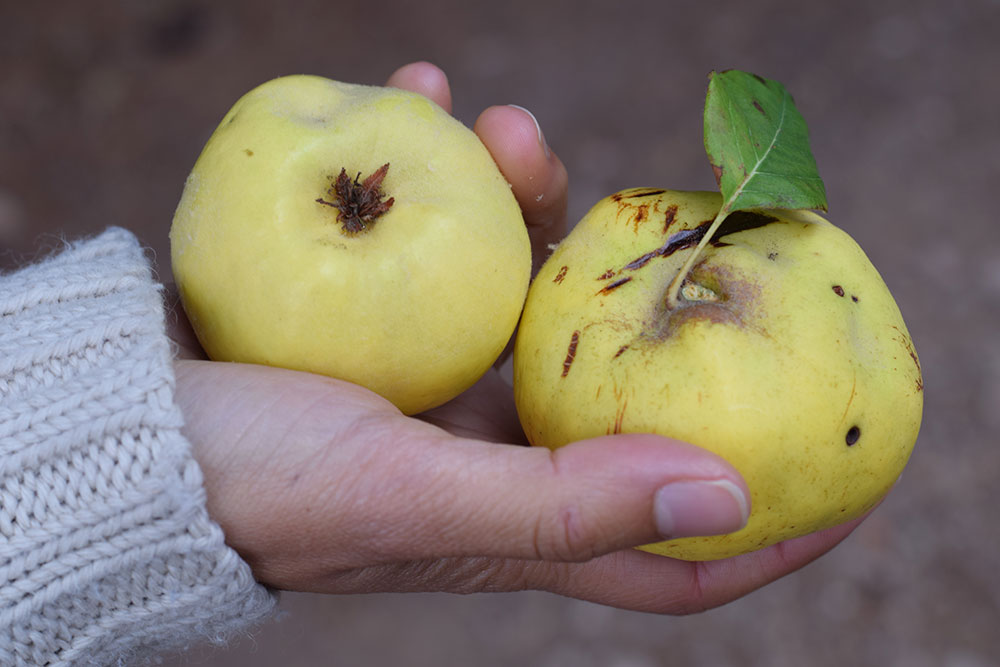 Photograph of two quince fruits at the Santa Maria market in Mallorca, Spain.