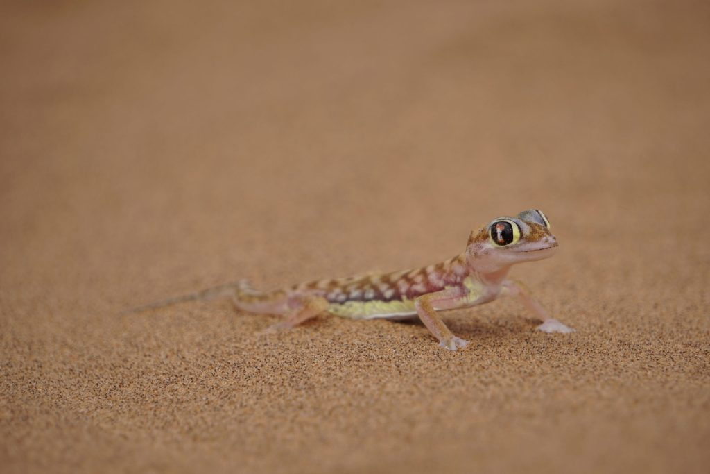 Namibian Road Trip Palmato Gecko