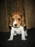 Beagle Puppies For Sale In Arkansas Beagle Breeders And Information