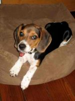 Allison_Dixie_Beagle.jpg