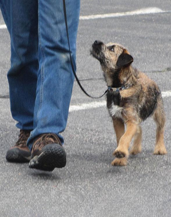 Border Terrier heeling and looking up at his handler